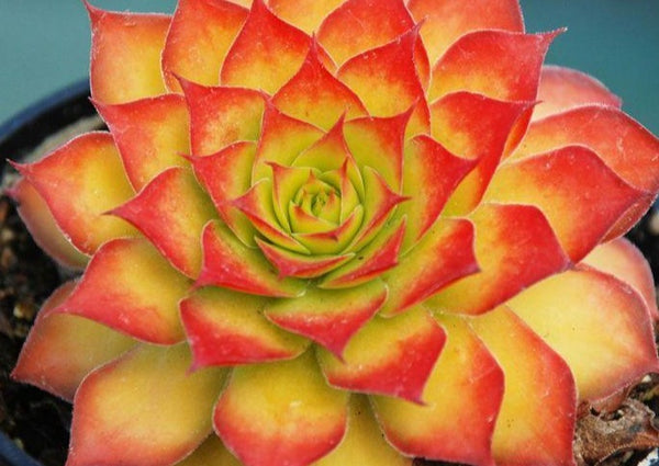 Sempervivum Gold Nugget