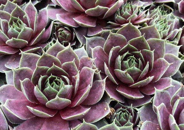 Sempervivum Plum Parfait