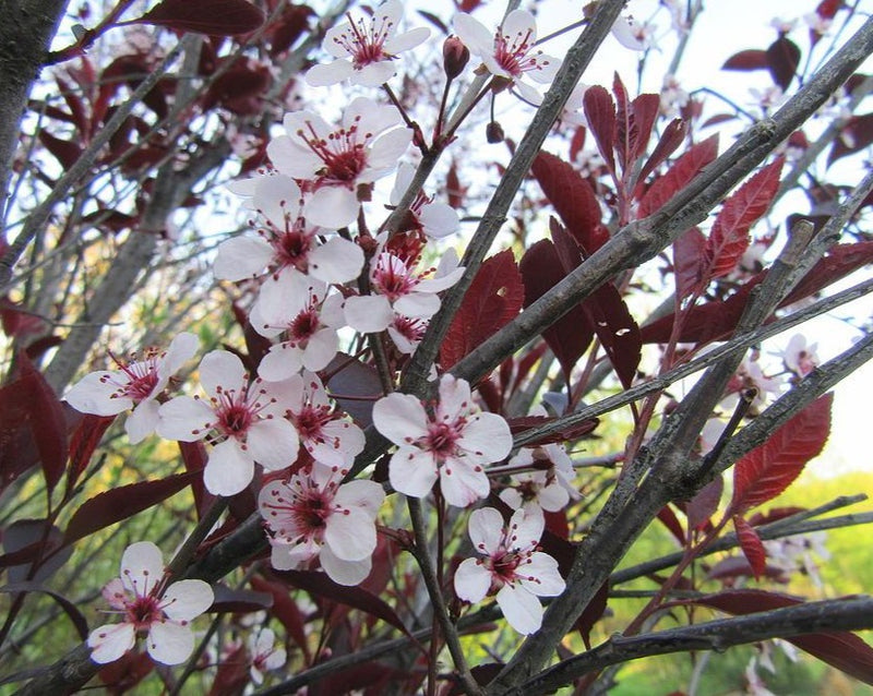 Prunus x cistena (Purple leaf sand cherry)
