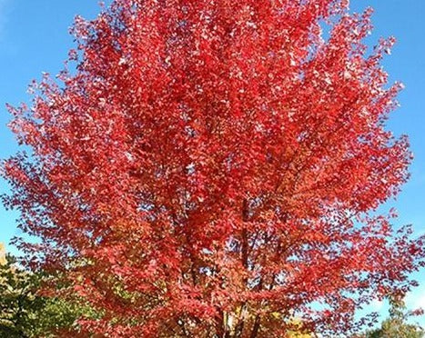 Redpointe Maple