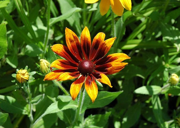 Rudbeckia Rustic Colours