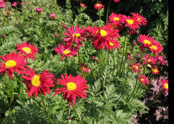Tanacetum Robinson Red