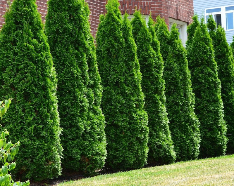 Thuja occidentalis (Columnar Cedar)