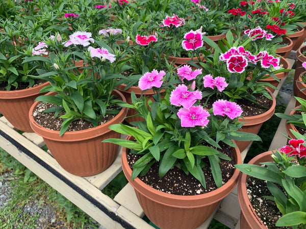 Ideal Select Mix Dianthus (Biennial)