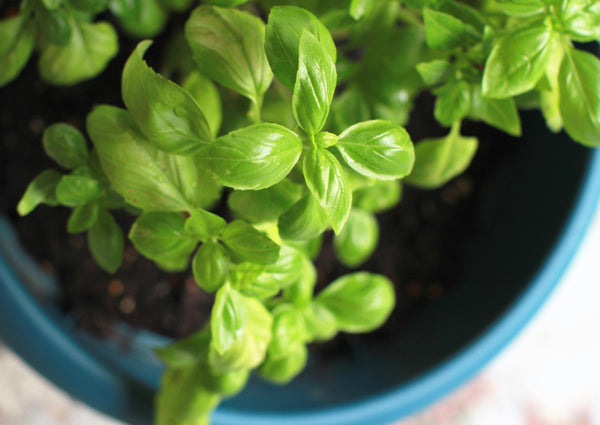 Young green basil growing in a pot