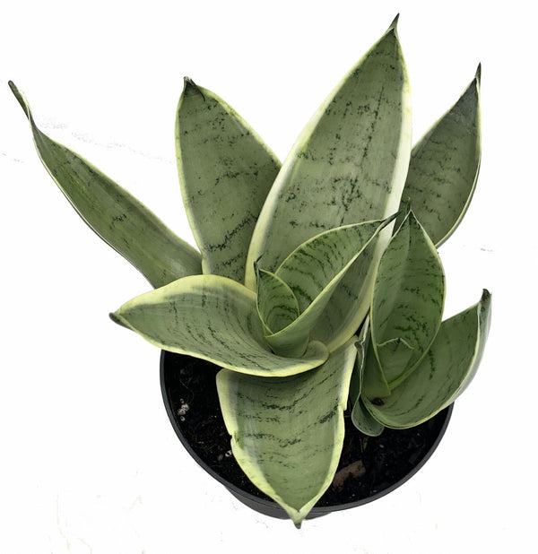 Sanseveria Nightowl