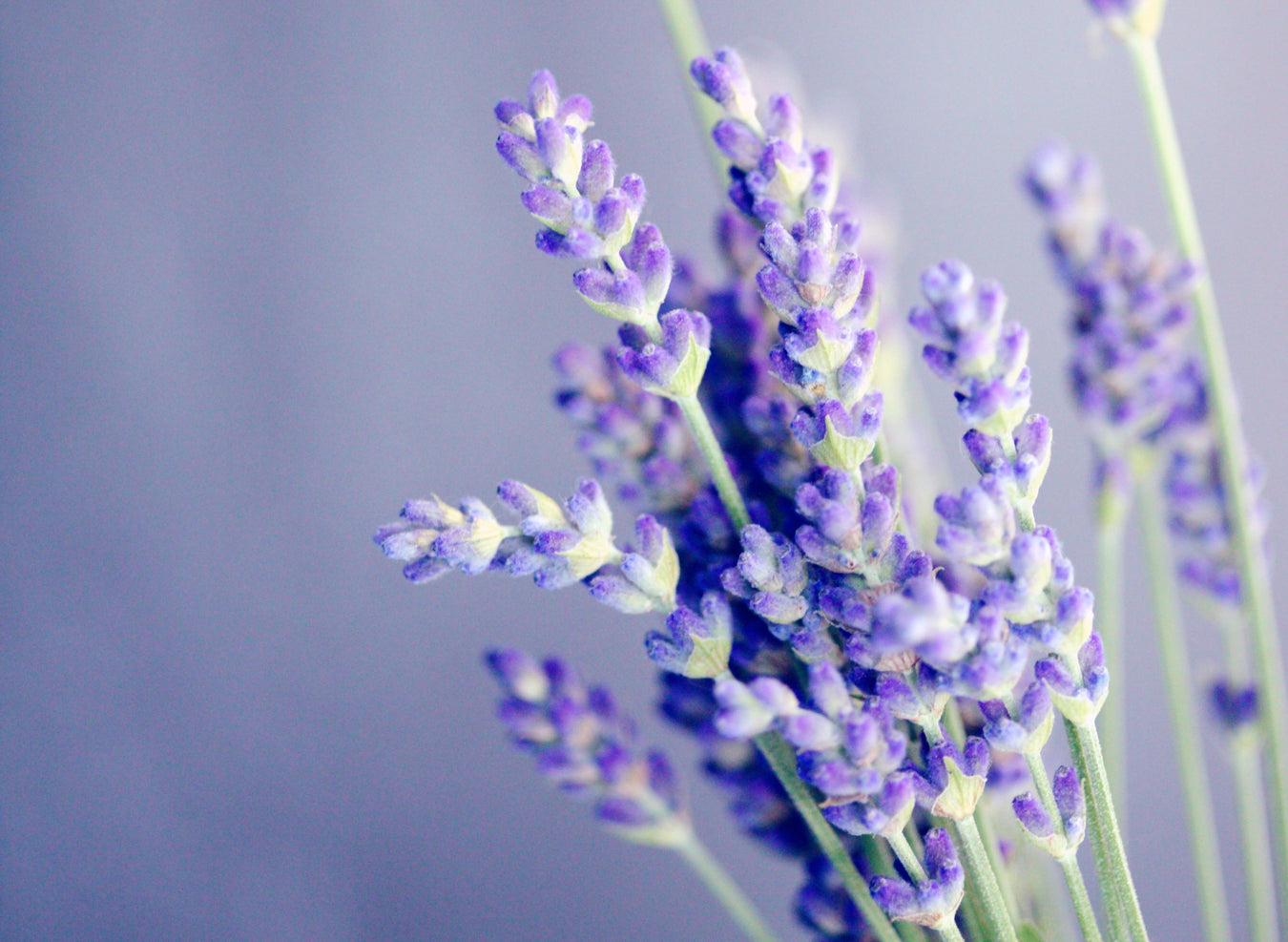 lavender-close-up-plant-based