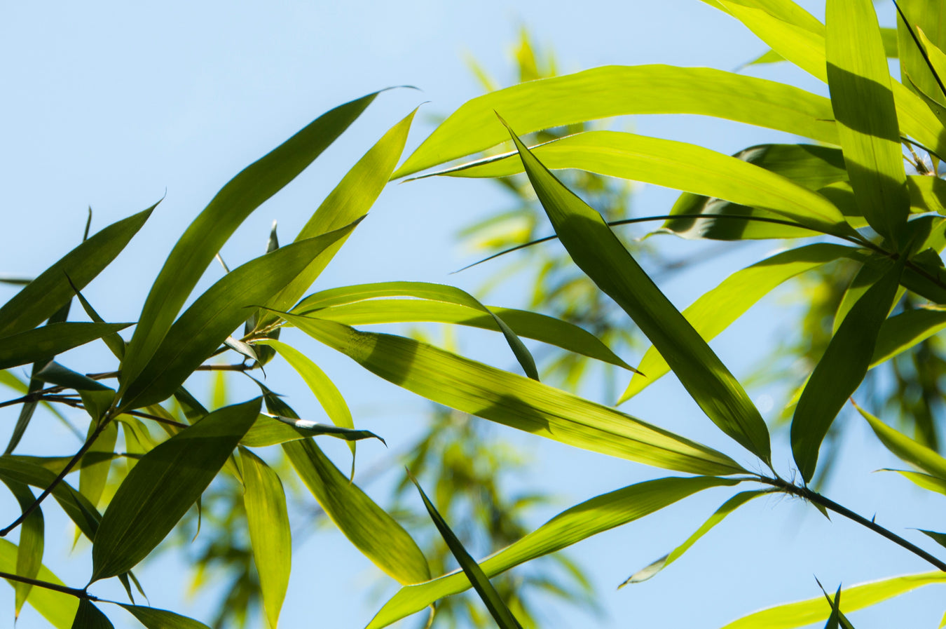 bamboo-growing-blue-sky-plant-based-nz