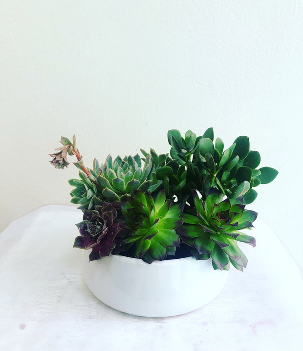 Succulant pot - caringbahflowersgifts