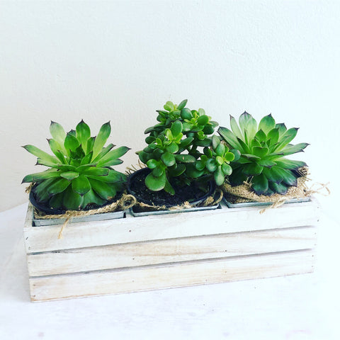Succulant in crate box - caringbahflowersgifts