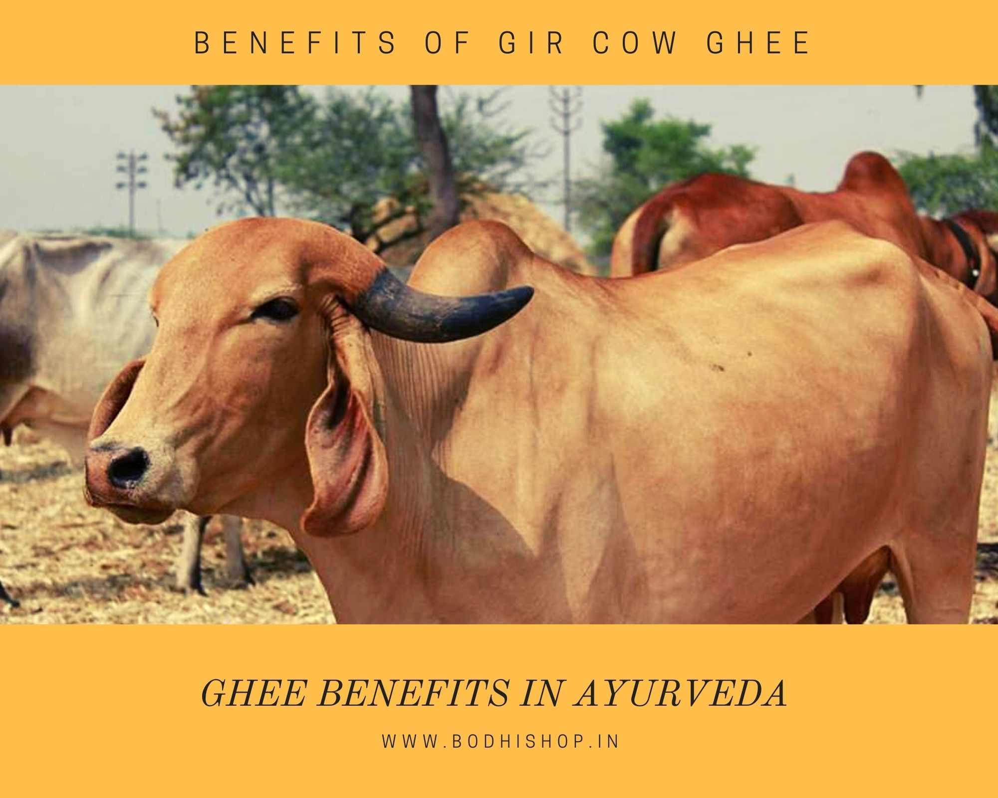Benefits of Gir Cow Ghee in Ayurveda