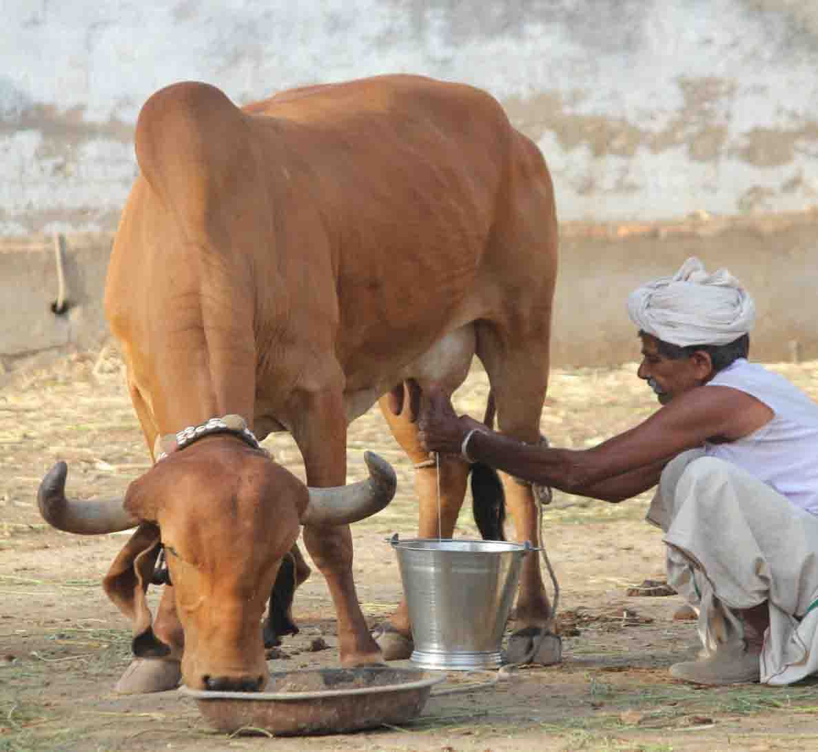 Buy best Gir cow a2 ghee and gir cow a2 desi milk, online in India using traditional Vedic process.