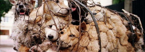 Dogs tied  up to go to slaughter house