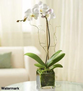 Elegant Orchid - White - Voiceopin International: Child Abuse Information & Online Shopping Center
