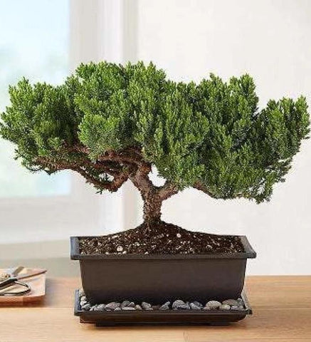 Juniper Bonsai Flowers