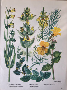 Vintage Yellow Flower bookplate, Yellow Rattle