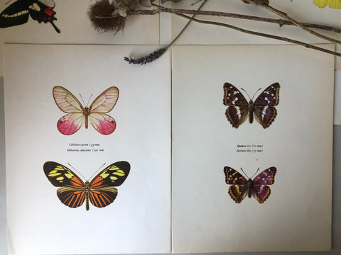 Pair of Vintage Butterfly Bookplates / Prints, Callitaera Pireta