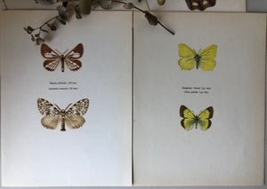 Pair of Vintage Butterfly Bookplates / Prints, Colias Palaeno