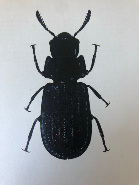 1960s Beetle Print, Large Common Black Beetle