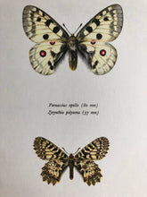 Load image into Gallery viewer, Vintage Butterfly Print, Parnassius Apollo