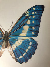 Load image into Gallery viewer, Original Butterfly Bookplate, Morpho Cypris