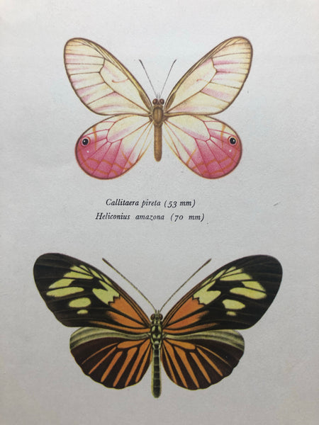 Original Butterfly Bookplate, Heliconius Amazona