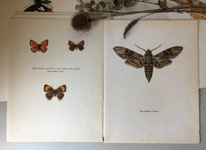 Pair of Vintage Butterfly Bookplates / Prints, Thecla Betulae