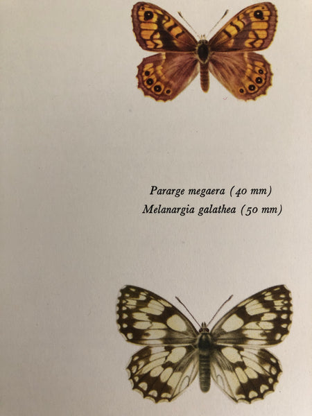 Original Butterfly Bookplate, Parage Megaera
