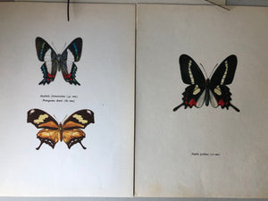 Pair of Vintage Butterfly Bookplates / Prints, Papilio Lysithous