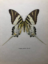 Load image into Gallery viewer, Vintage Butterfly Print, Graphium Androcles
