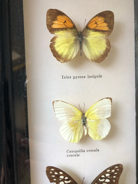 Set of four Antique Framed Vintage Butterflies