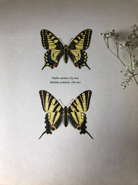 Vintage Butterfly Print, Papilio Machaon