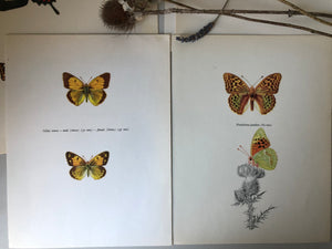 Pair of Vintage Butterfly Bookplates / Prints, Colias Crocea