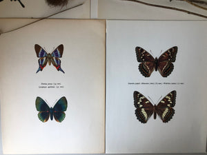 Pair of Vintage Butterfly Bookplates / Prints, Diorina psecas