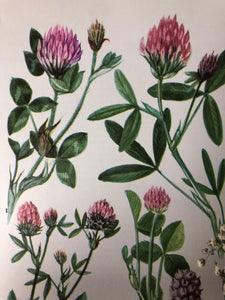 1960s Botanical Print, Sea Clover