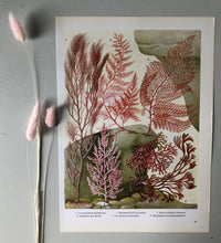 Load image into Gallery viewer, 1960s Botanical Sea Plant Bookplate, Pink