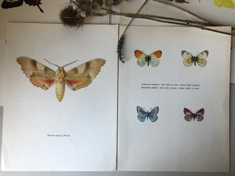 Pair of Vintage Butterfly Bookplates / Prints, Marumba quercus
