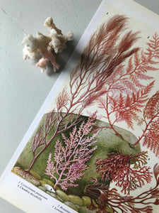 1960s Botanical Sea Plant Bookplate, Pink