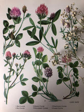 Load image into Gallery viewer, 1960s Botanical Print, Sea Clover