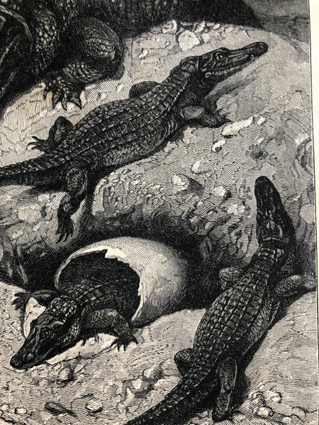 Original Alligator Family, sketched Bookplate