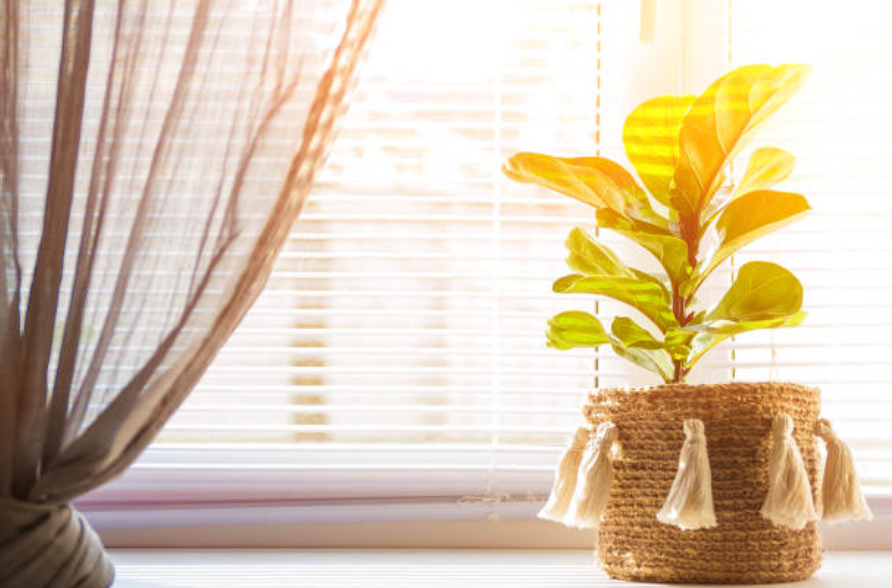Caring for Fiddle Leaf Fig Plants