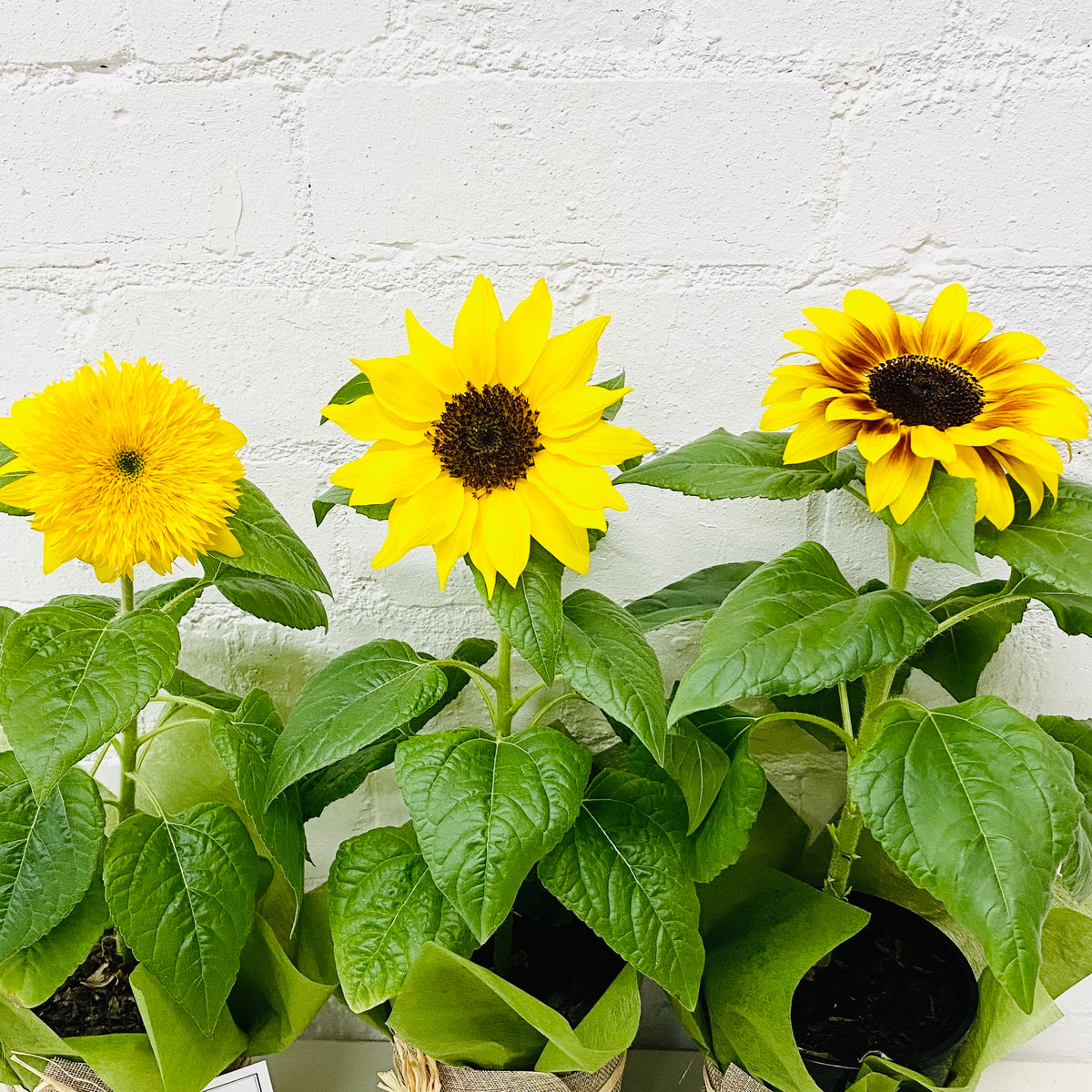 Sunflower Pot