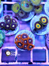 Zoa Fire and Ice