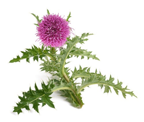 Weight Loss Benefits Of Milk Thistle