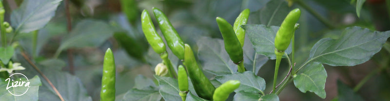 Bird's Eye Chilli of Meghalaya