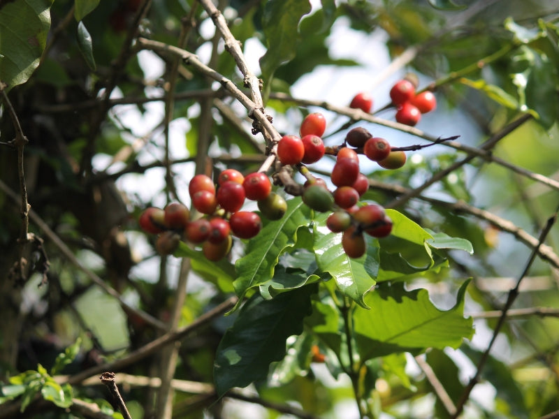 Producing The World's Finest Coffee From Meghalaya - Myth Or Dream