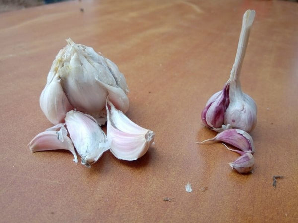 Power Your Immunity and Health With Rynsun Khasi - Rocambole Garlic
