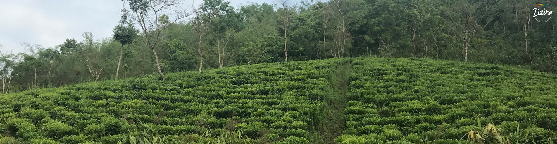 From Cowherding to Tea Cultivation - The Journey of a Tea Farm Owner