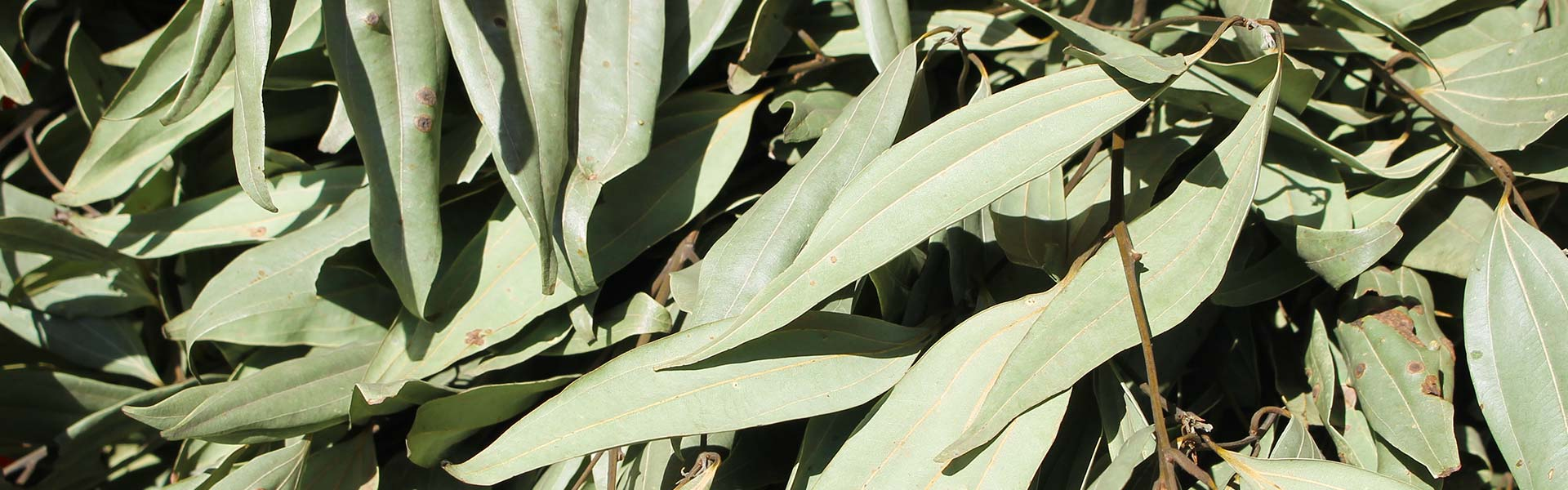 5 Interesting Facts About Bay Leaf Family