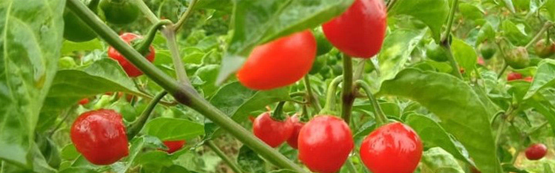Top 11 Chillies of Northeast India